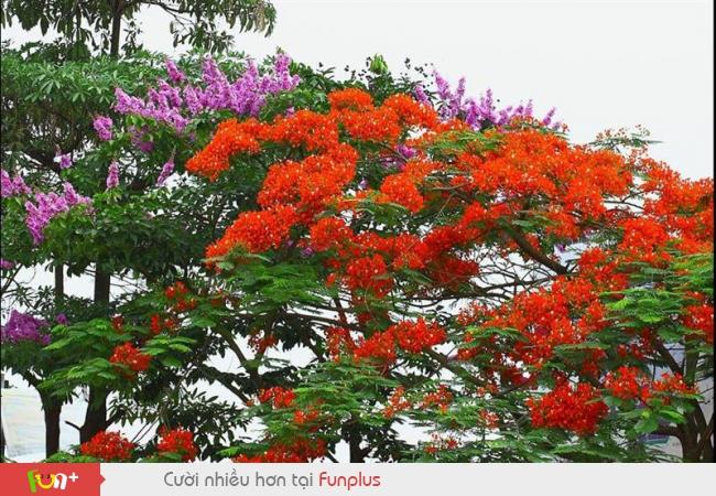 Hình Ảnh Hoa Phượng Đẹp Nhất