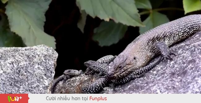 Thằn lằn mẹ tấn công rắn độc dài hai mét để bảo vệ đàn con